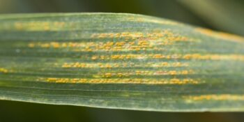 Yellow Rust of Wheat