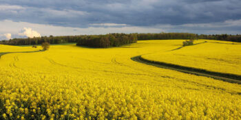 Oilseed Rape (OSR)
