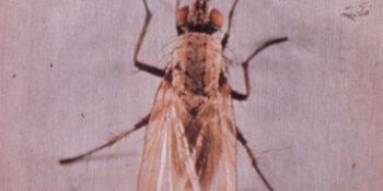 Wheat Bulb Fly