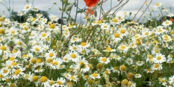 Broad-leaved weeds