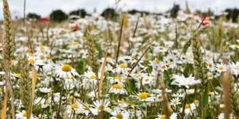 Herbicide resistant weeds:the current situation in the UK