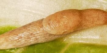 Grey field slug